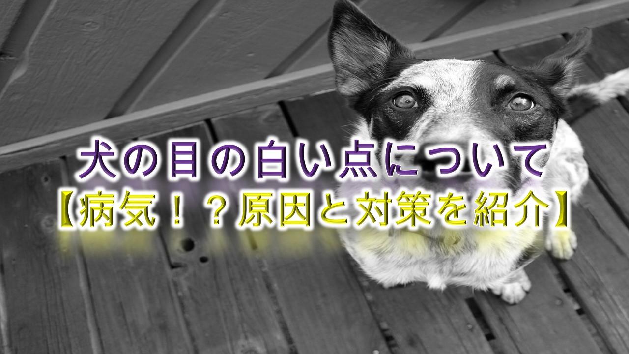 犬の目の白い点について【病気!?原因と対策を紹介】