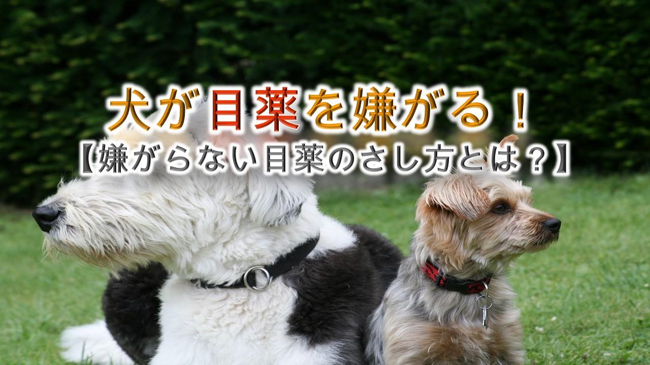 犬が目薬を嫌がる!【嫌がらない目薬のさし方とは?】