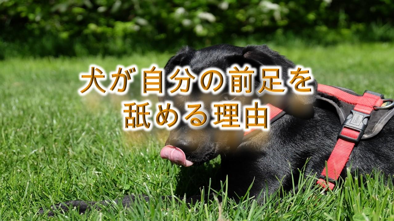 犬が自分の前足を舐める理由
