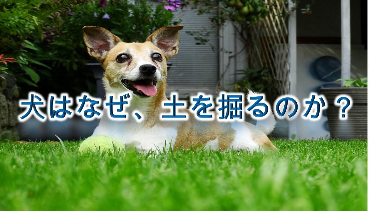 犬はなぜ、土を掘るのか?【犬の掘り起こし行動の理由】