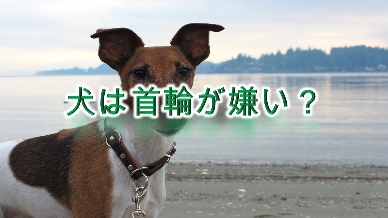 【犬は首輪が嫌い?】いぬに首輪をするメリットとデメリット