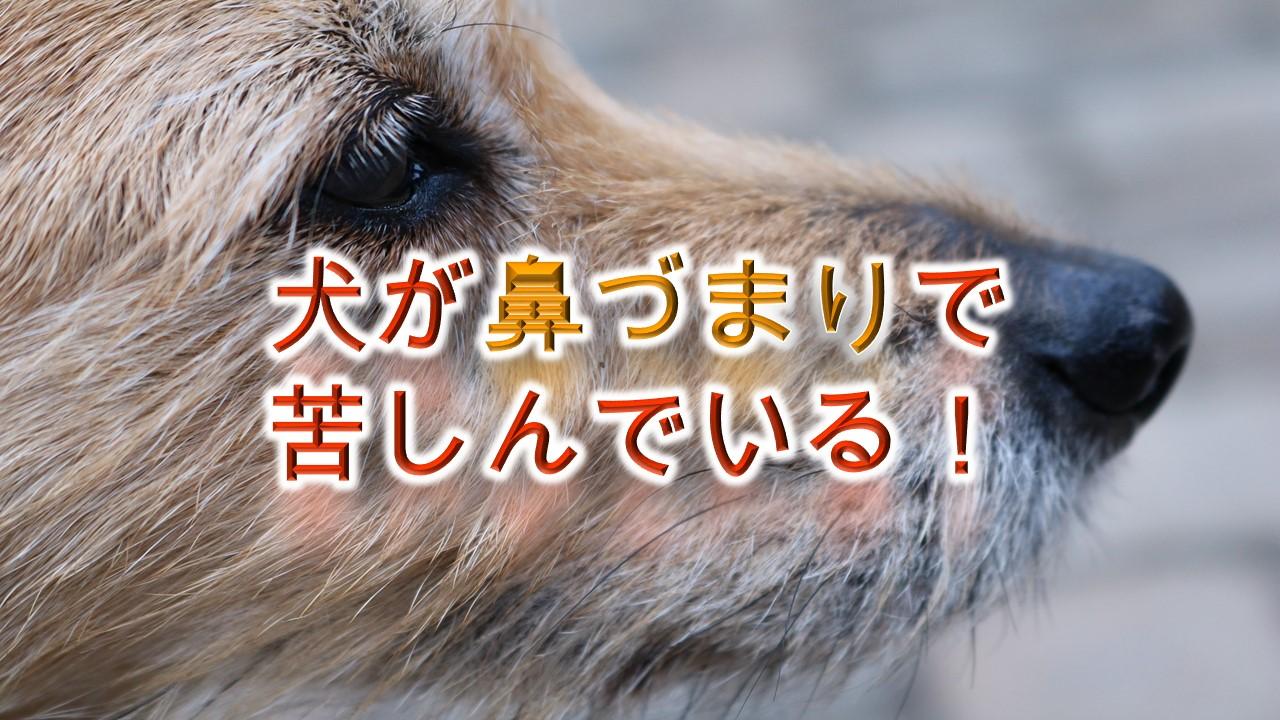 犬が鼻づまりで苦しんでる!【犬の鼻詰まりの原因と対処法】