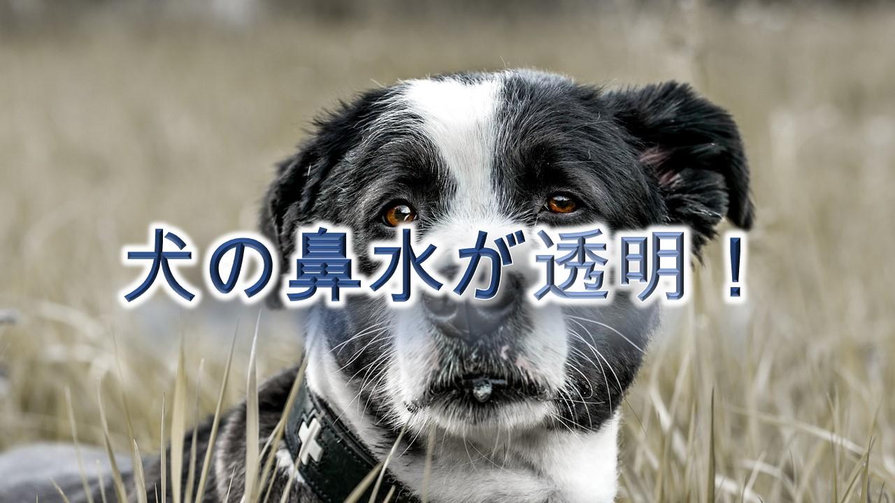 犬の鼻水が透明!【考えられる原因と対応策】