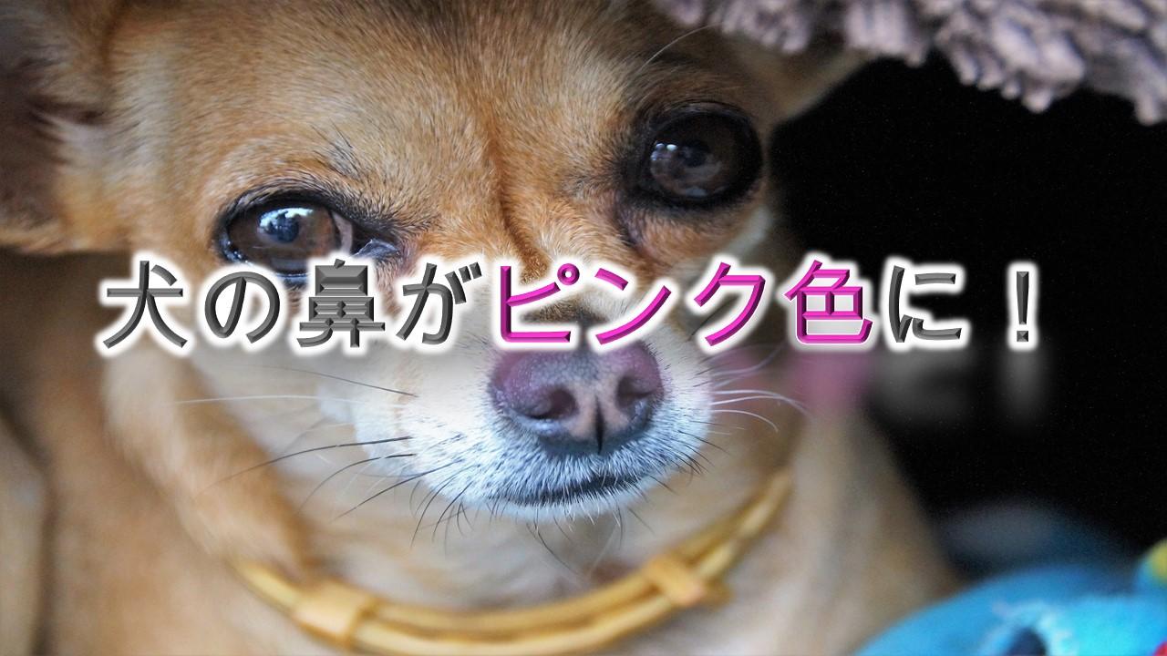 犬の鼻がピンク色に!【犬の鼻の色が薄くなる理由とは?】