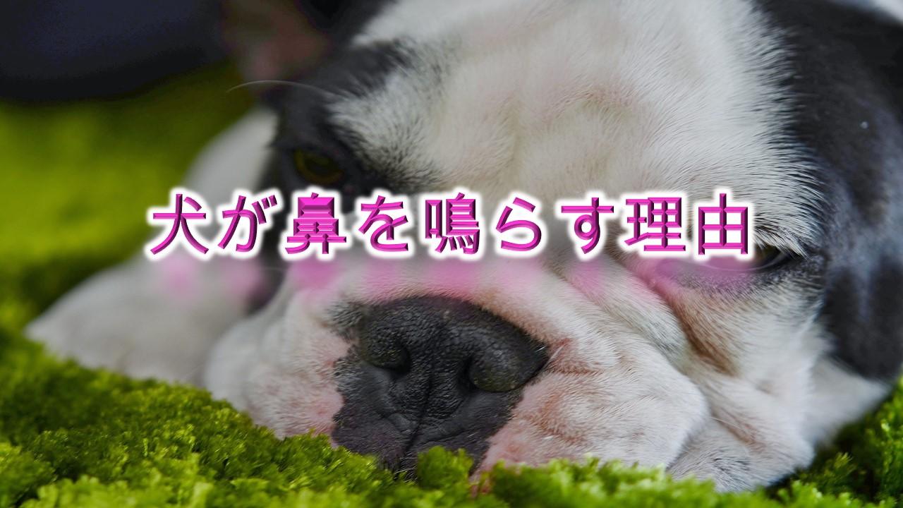 犬が鼻を鳴らす理由とは?【高い音の時と低い音の時で、犬の気持ちが違う??】