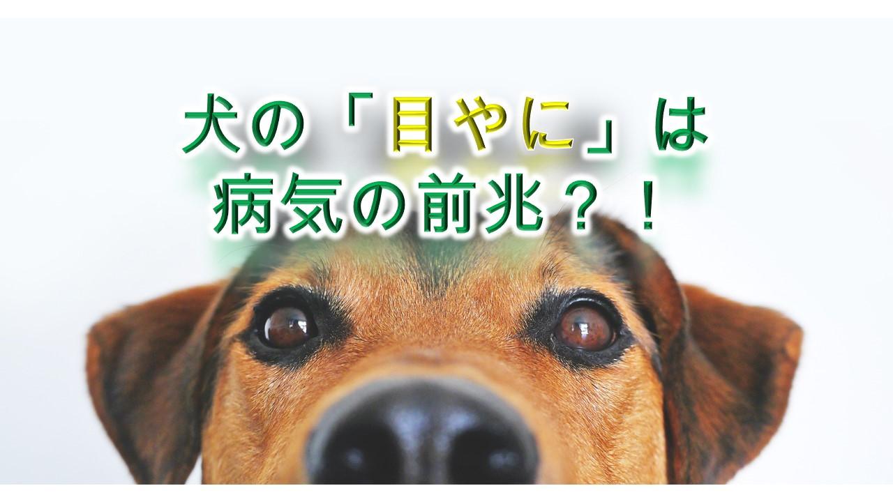 犬の「目やに」は、病気の前兆なの!?