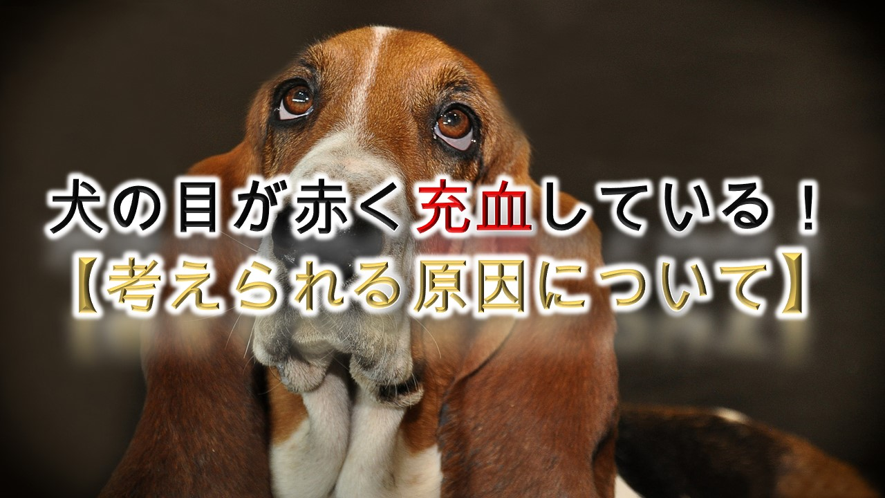 犬の目が赤く充血している!【考えられる原因について】