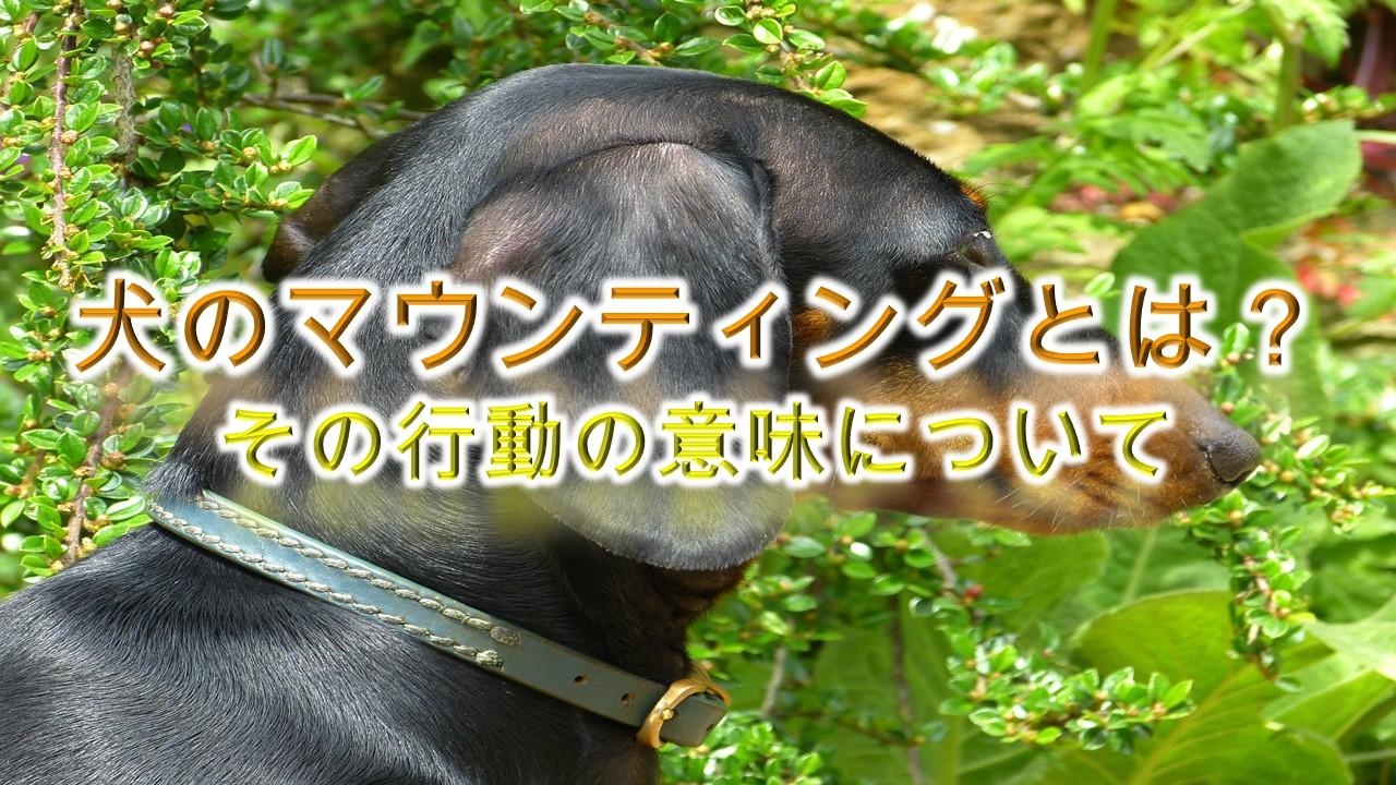 犬のマウンティングとは?【犬がマウンティングをする意味や理由についても解説】