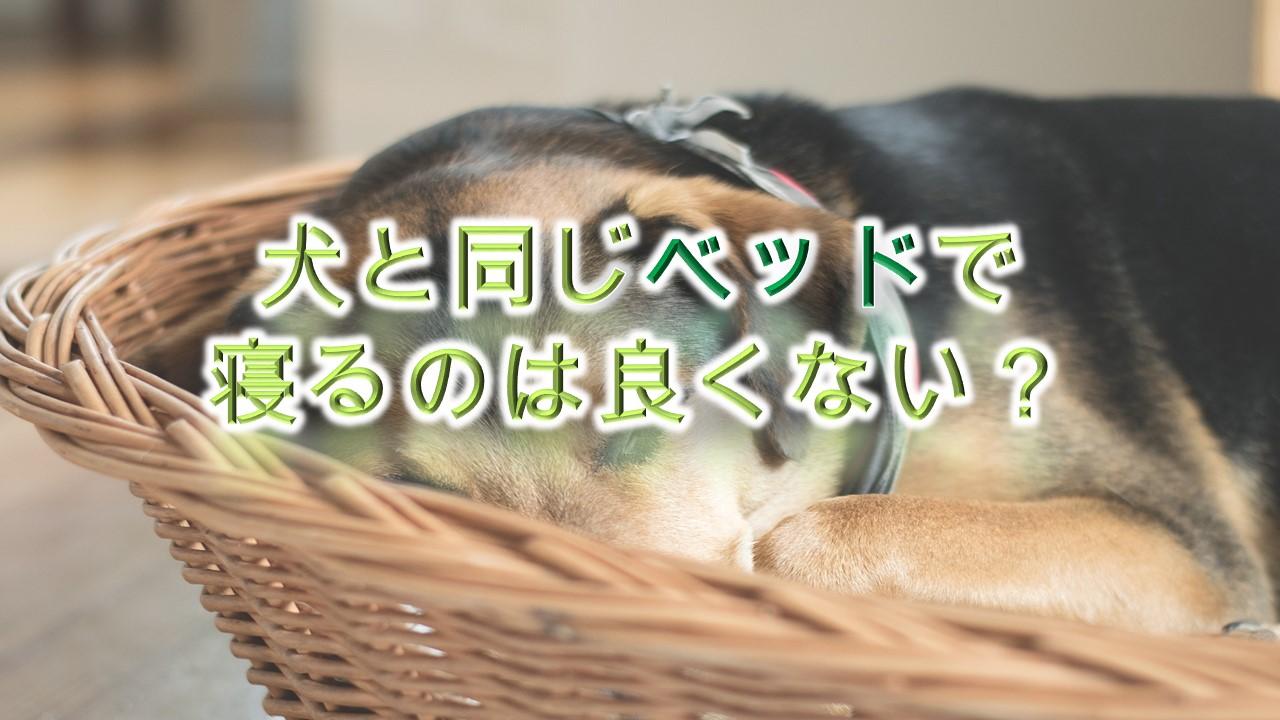 犬と同じベッドで寝るのは良くない?デメリットを解説!