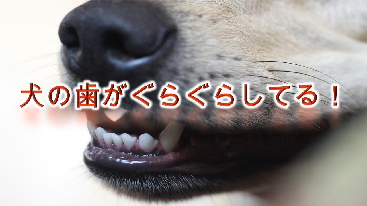 犬の歯がぐらぐらしてる!【犬の歯がぐらつく原因と注意点とは?】