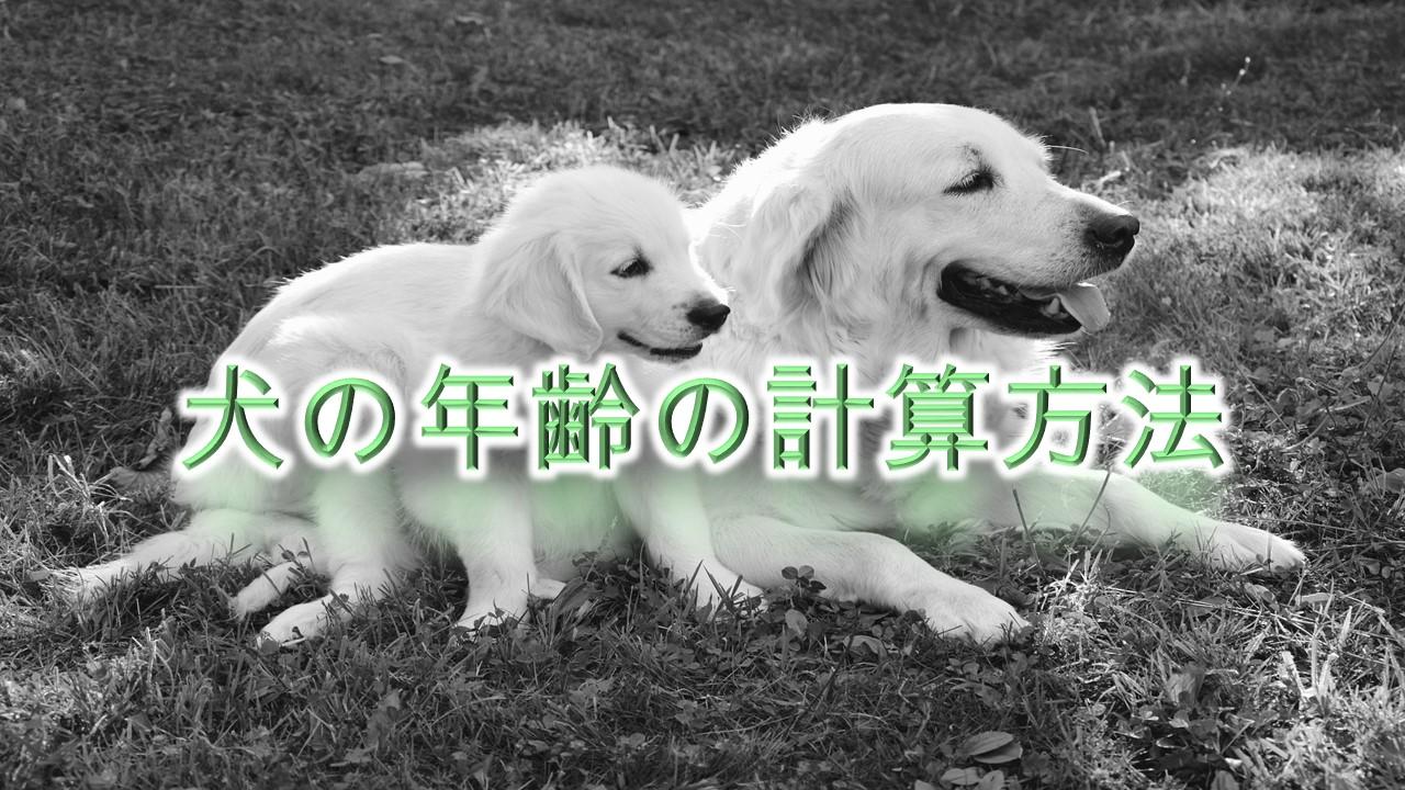 犬の年齢の計算方法【人間に換算してわかりやすく解説】