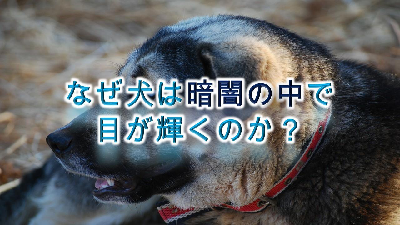 なぜ犬の目は、暗闇の中で輝くのか?
