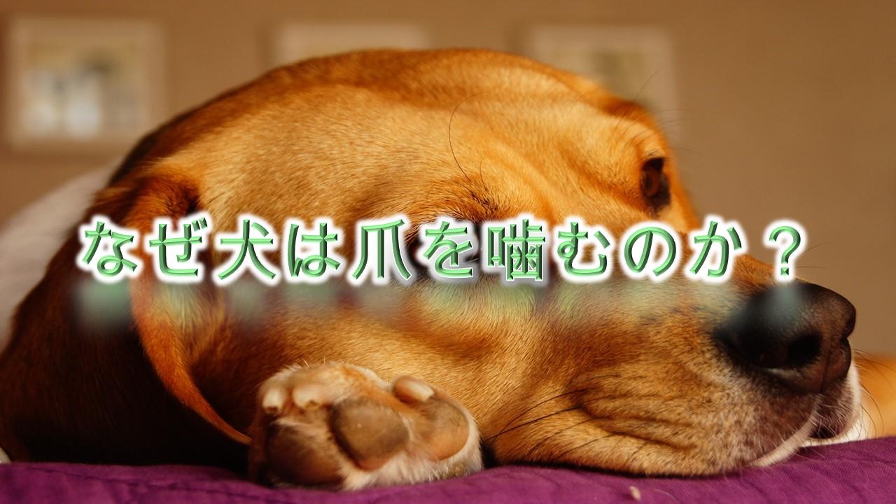 なぜ犬は自分の爪を噛むのか?何か意味や理由がある?【犬が爪を噛む原因と対応策について】