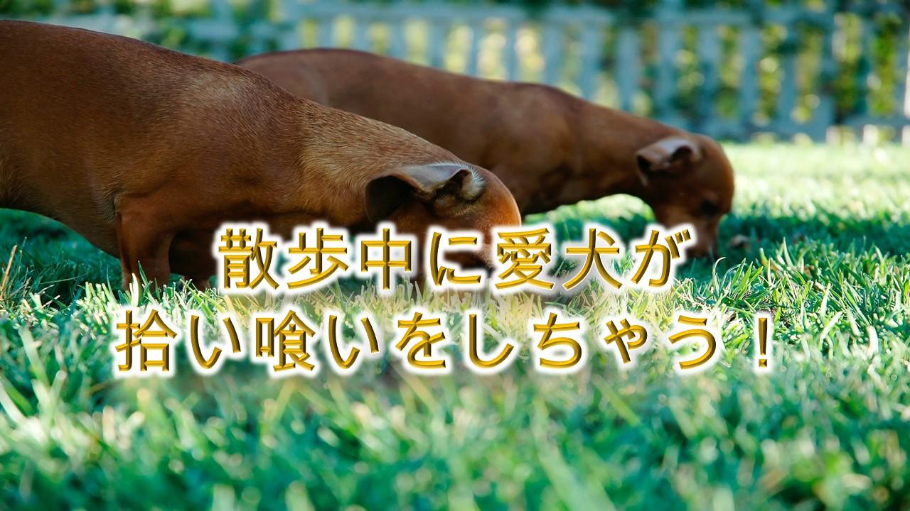 散歩中に愛犬が拾い喰いをしちゃう!【やめさせるトレーニング方法】