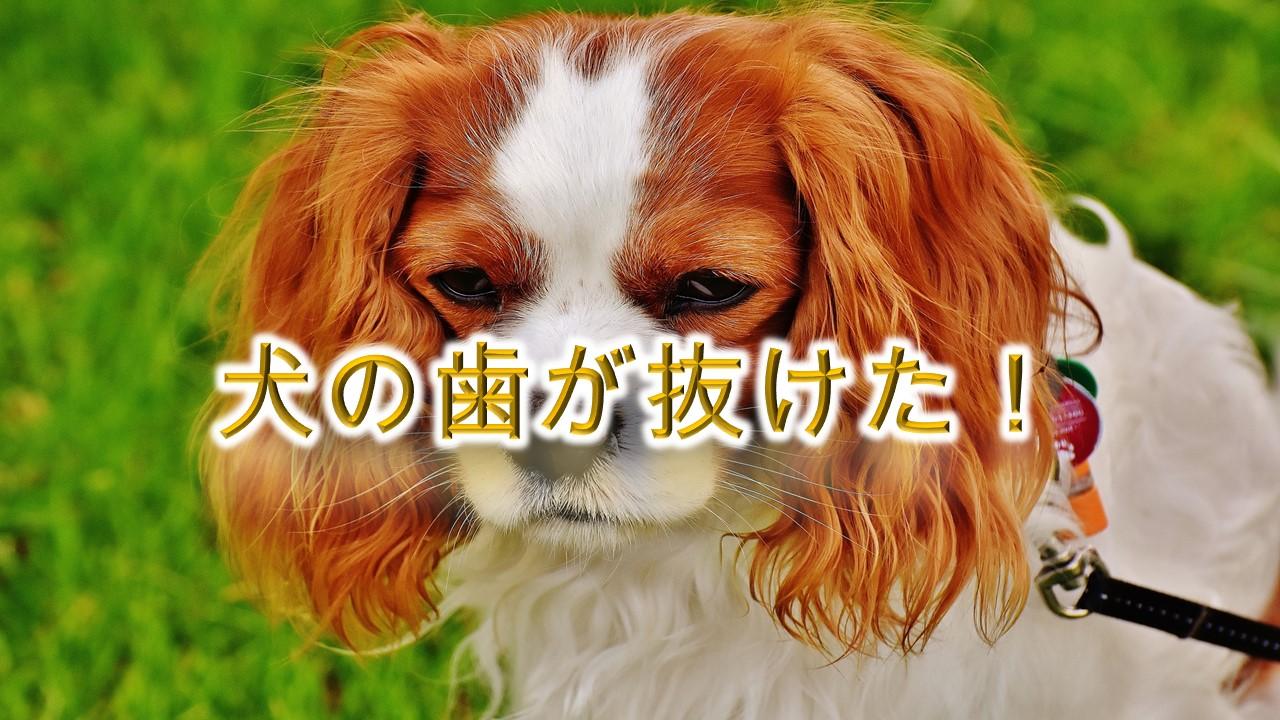 わ!犬の歯が抜けた!【抜ける原因と対処法について】