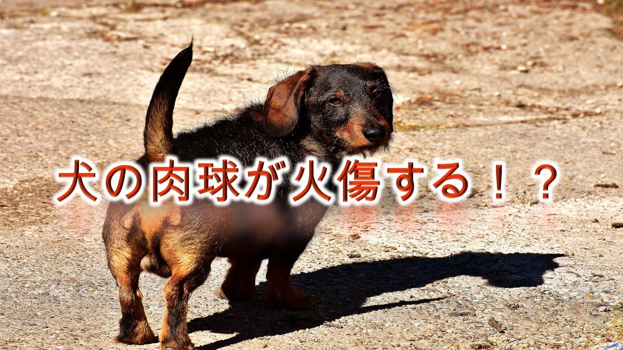 犬の肉球が火傷する!?夏の散歩の危険性とその対策について