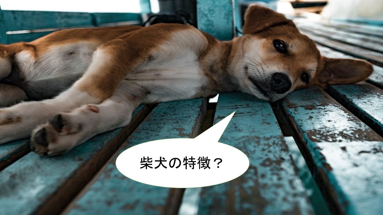 柴犬の特徴?