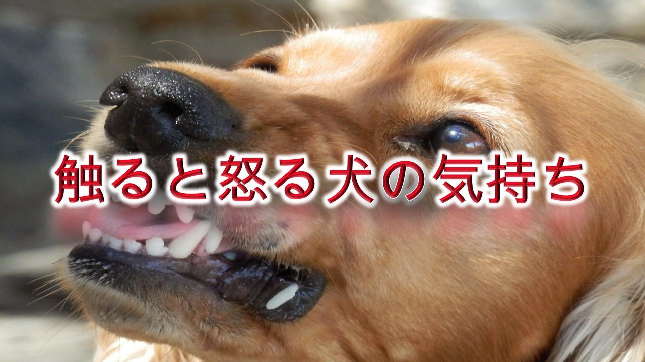 触ると怒る犬の気持ち【接し方やしつけ方、解決方法も解説】