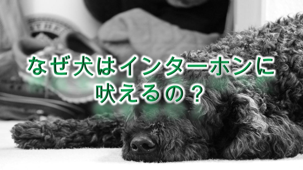 犬がインターホンやチャイムなどの音に吠える理由と解決策【来客に吠える犬への対策にもなります。】