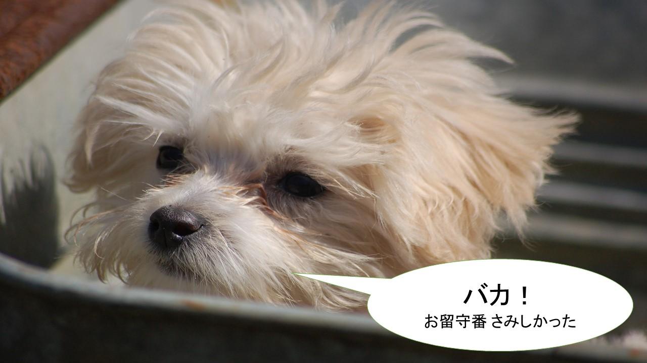 ミックス犬「マルプー」ってどんな小型犬?【値段や性格、特徴をまとめました!】