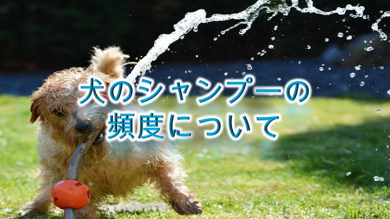犬のシャンプーの頻度について【注意!お風呂の頻度と一緒ではない!】