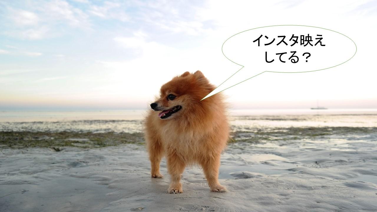 ミックス犬「ポメ柴」ってどんな小型犬?【値段や性格、特徴をまとめました!】