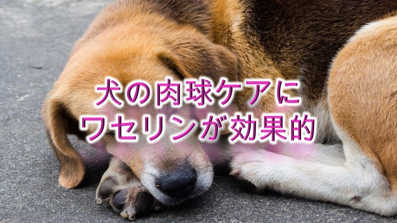 犬の肉球ケアにワセリンが効果的!【肉球クリームの代用にぜひ。】