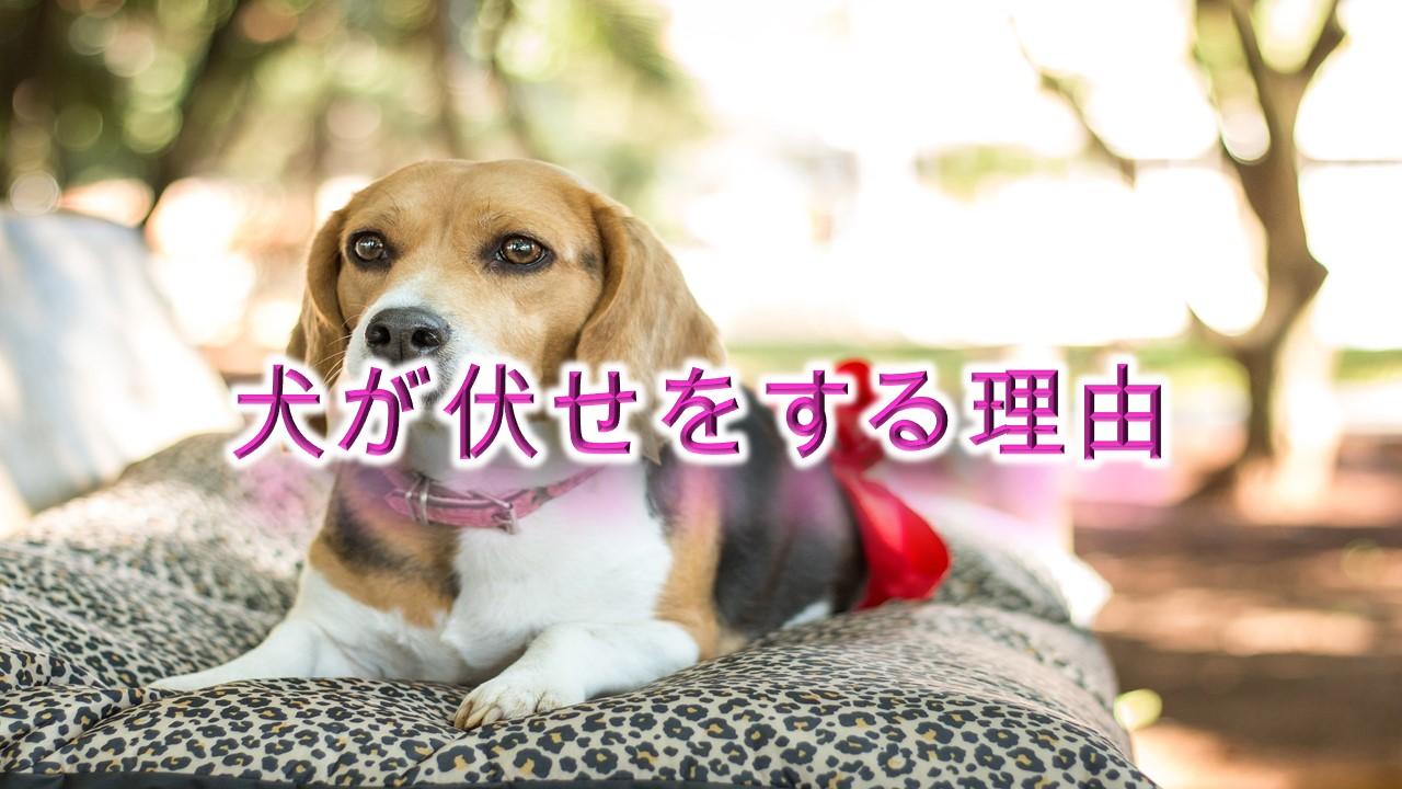 犬が伏せをする理由!【犬の行動には意味がある。】