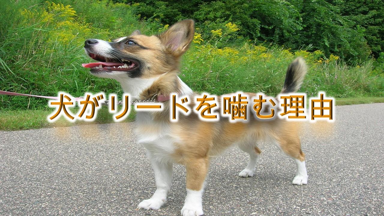 犬がリードを噛む理由【噛まないようにするしつけ方も解説!】