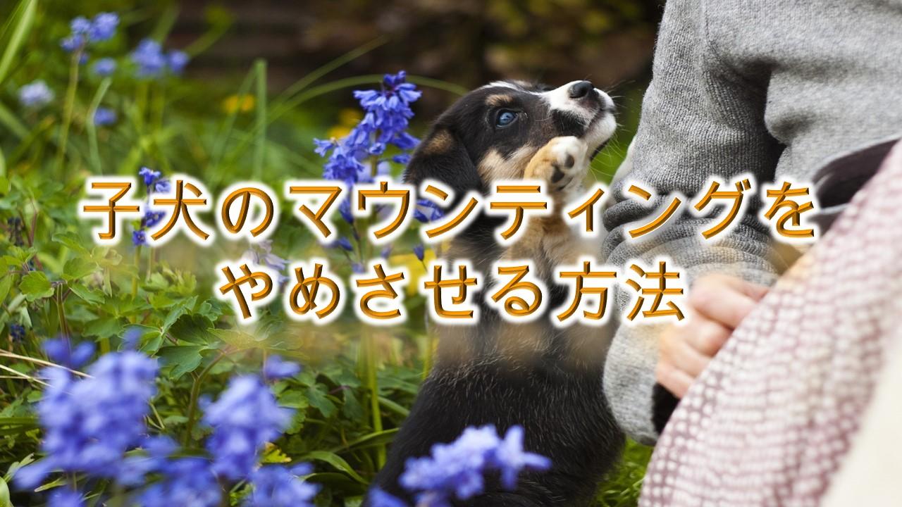 子犬のマウンティングをやめさせる方法【しつけ方だけでなく、ぬいぐるみやクッションにマウンティングする意味も解説】