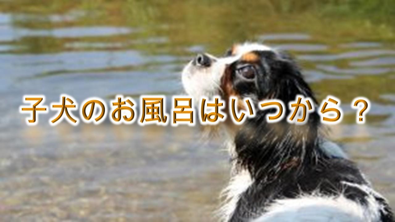 子犬をお風呂に入れる時期は、いつからがベストなのか?【適正な温度や入れ方もわかりやすく解説】