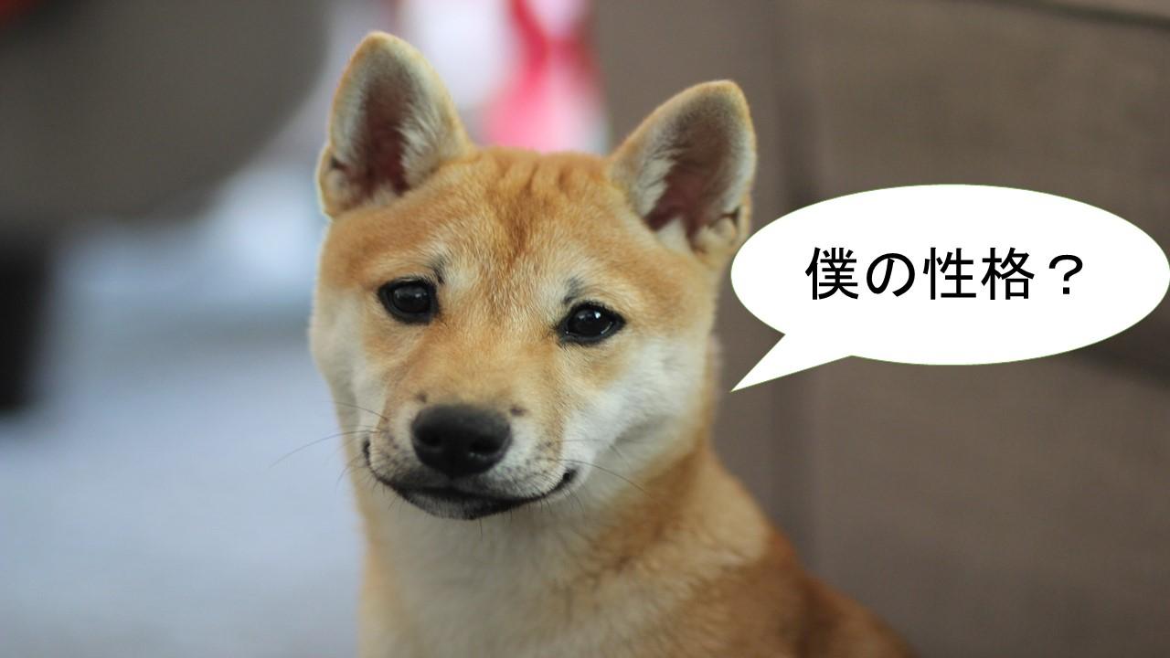 柴犬は性格が良い?悪い?愛嬌がある?警戒心が強い?恐れ知らず?鋭敏?【柴犬の性格について】