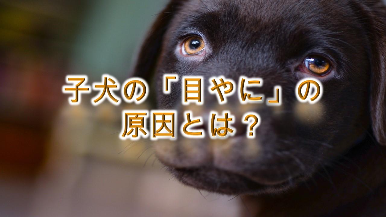 子犬の「目やに」の原因とは?【病気?目やにをとるのを嫌がる子犬への対策も紹介】