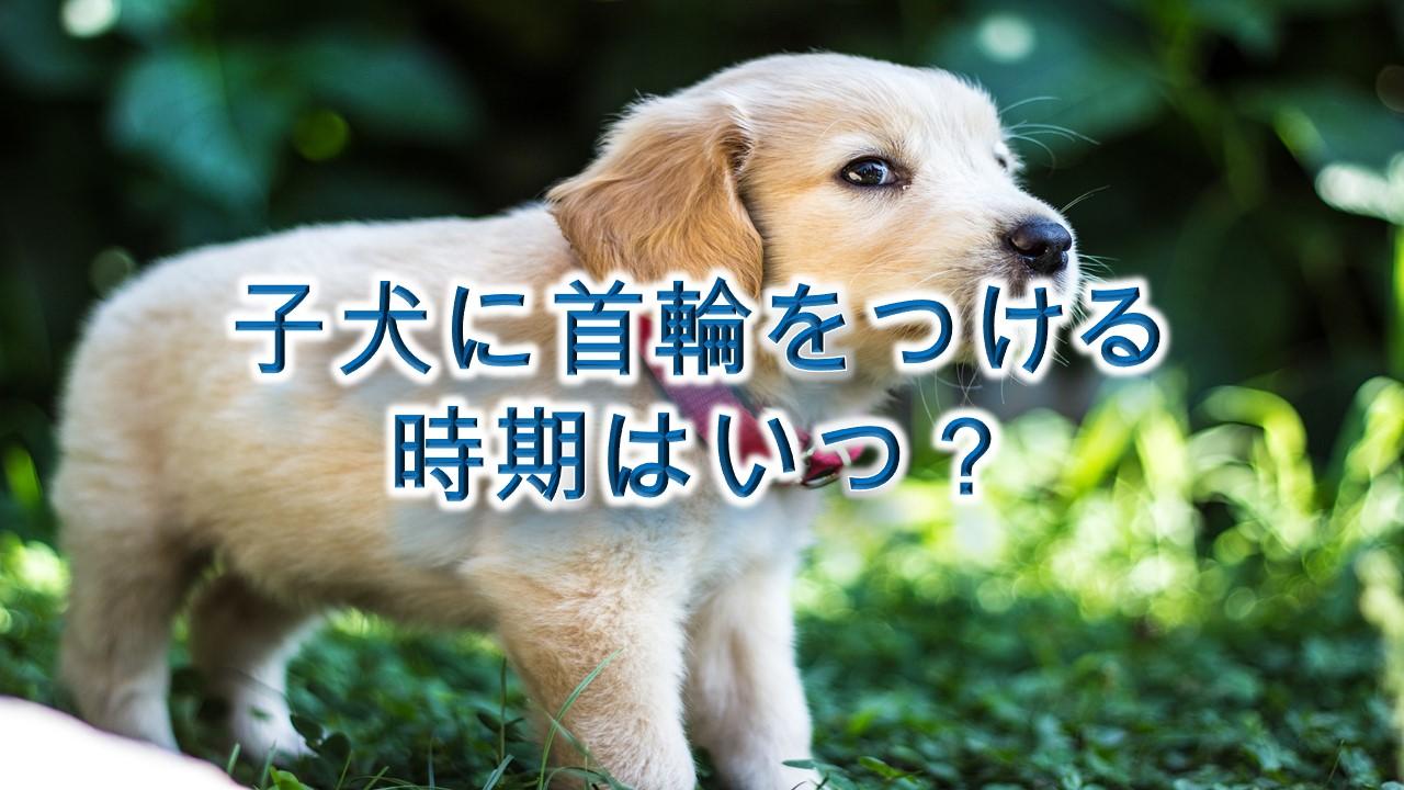 子犬に首輪をつける時期はいつ?
