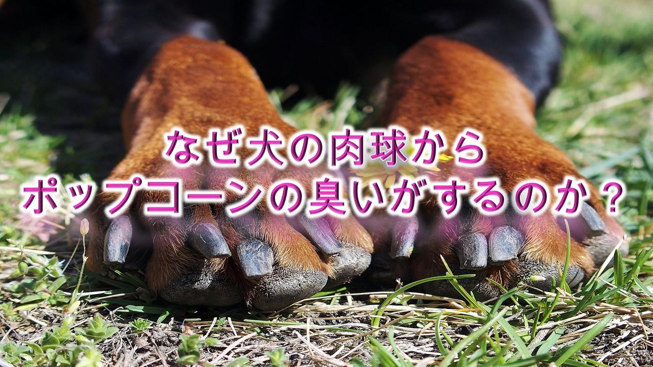 なぜ犬の肉球からポップコーンの臭いがするのか?【アメリカの研究でわかった、理由を紹介】