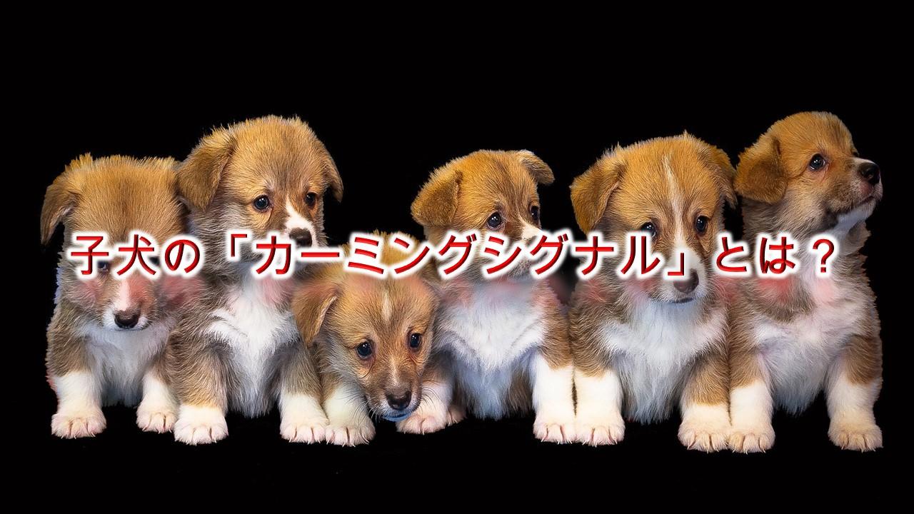 子犬の「カーミングシグナル」とは?【子犬の気持ちを理解するヒント】