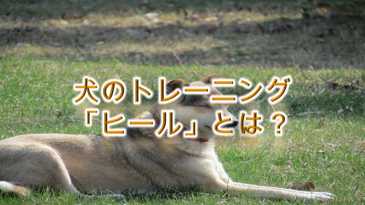 犬のトレーニング「ヒール」とは?【しつけ方や、その必要性について】