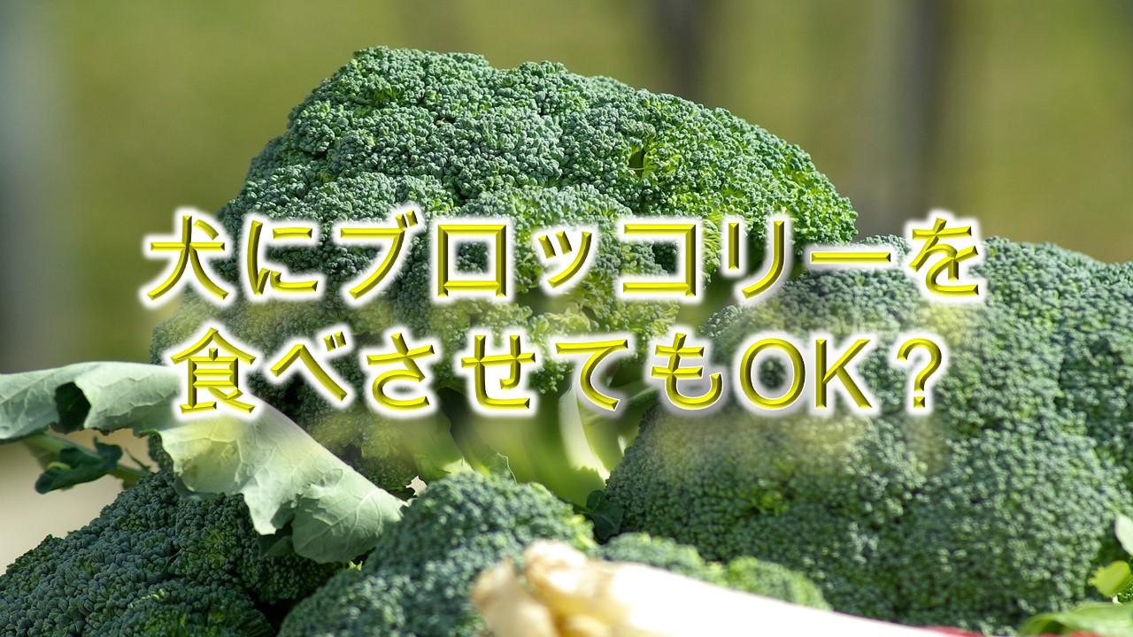 犬にブロッコリーを食べさせてもOK?【犬にブロッコリーを与えるメリットや注意点も解説】