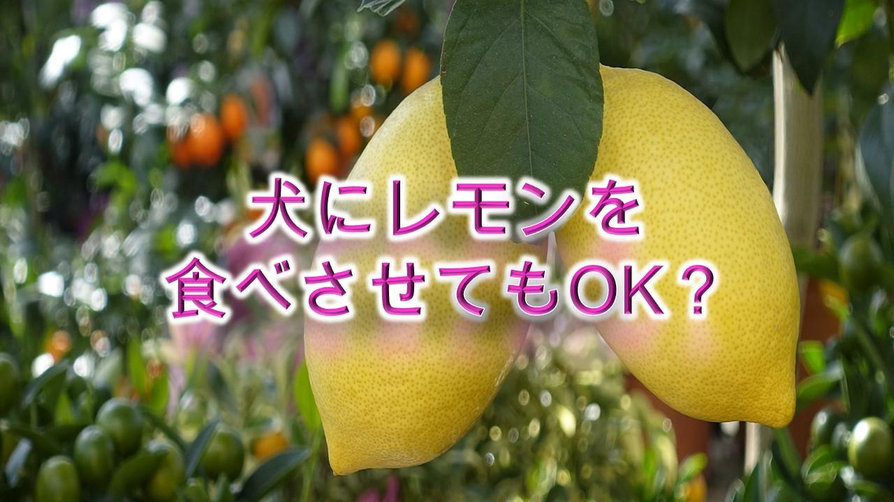 柴犬がレモンを食べると危険?【柴犬の食べ物の注意点】