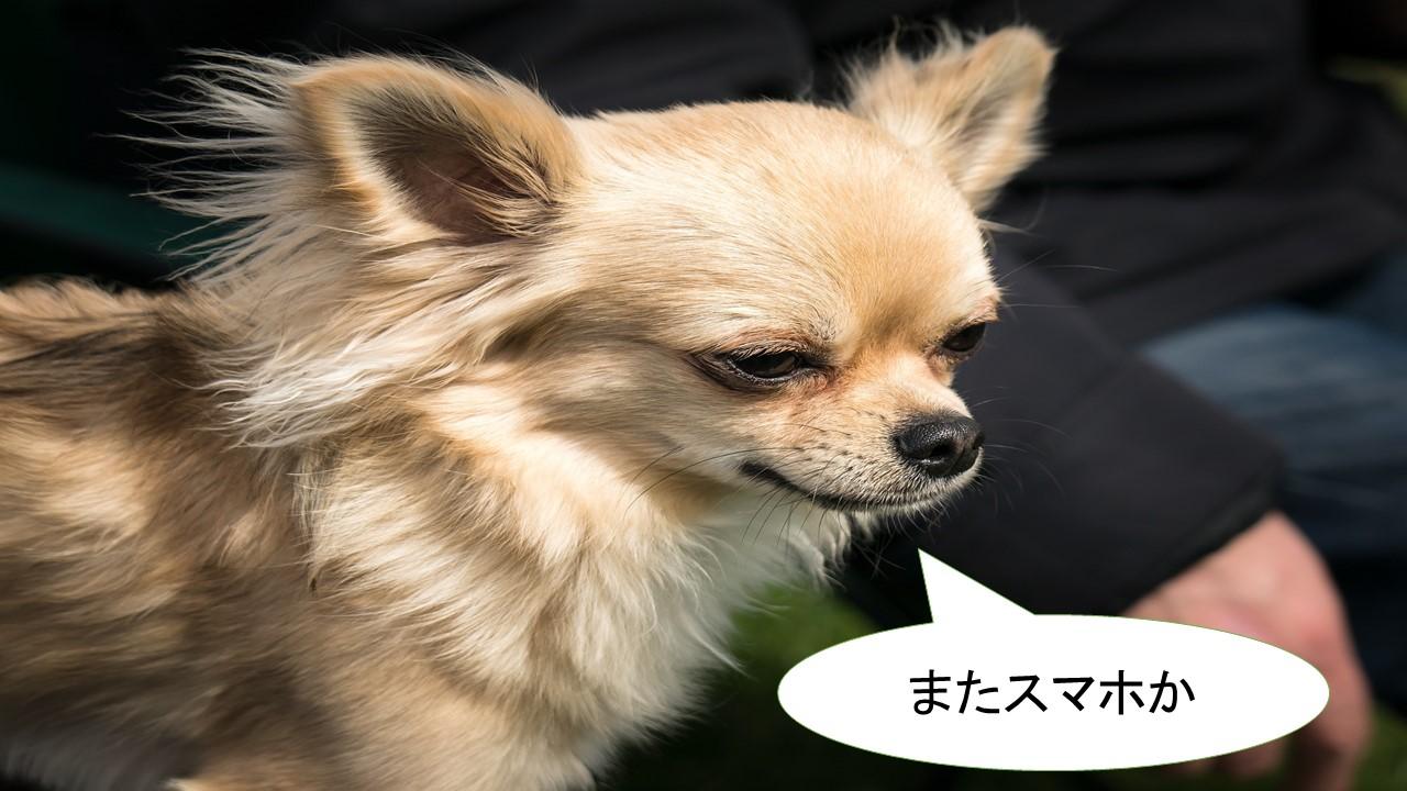 ミックス犬「ポメチワ」ってどんな小型犬?【値段や性格、特徴をまとめました!】
