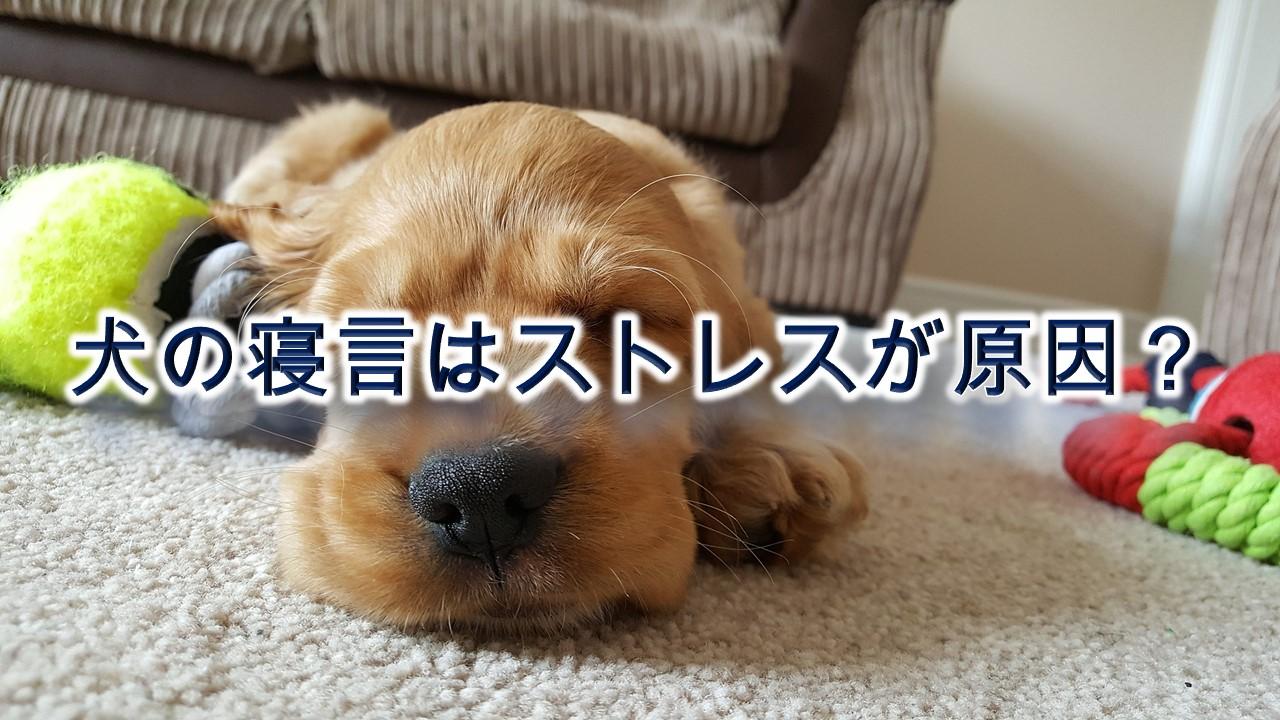 犬の寝言はストレスが原因?夢で吠えているだけ?【犬が寝言で唸る&吠える理由と対策】