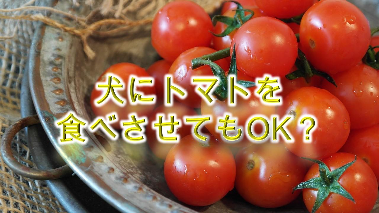 犬がトマトを食べると危険?【犬にとまとを与えるメリットや注意点も解説】