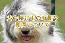 犬の抜け毛の時期や期間について。