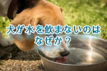 犬が水を飲まない。。なぜ?【犬が水を飲みたがらない原因と対応策について】