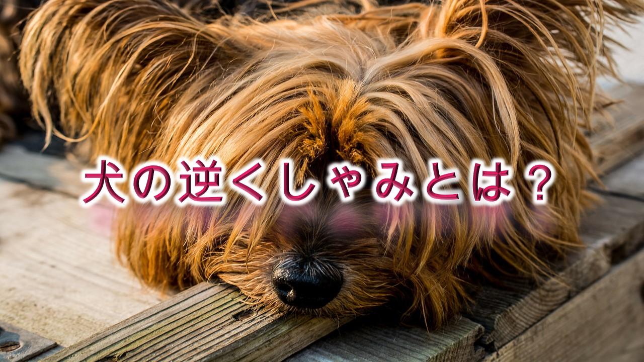 犬の逆くしゃみとは?小型犬は特に危険!【犬の逆くしゃみの原因と対応】