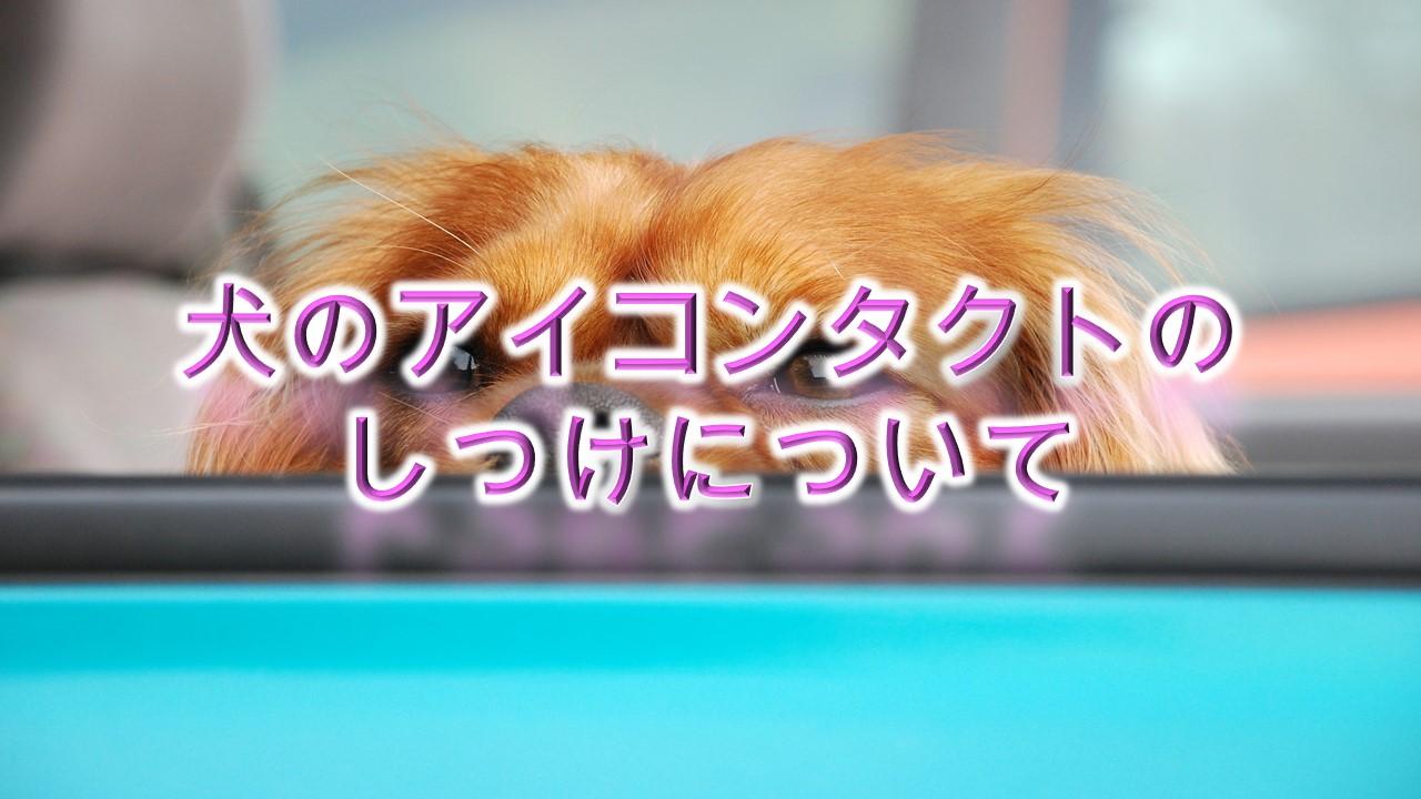 犬のアイコンタクトのしつけについて。