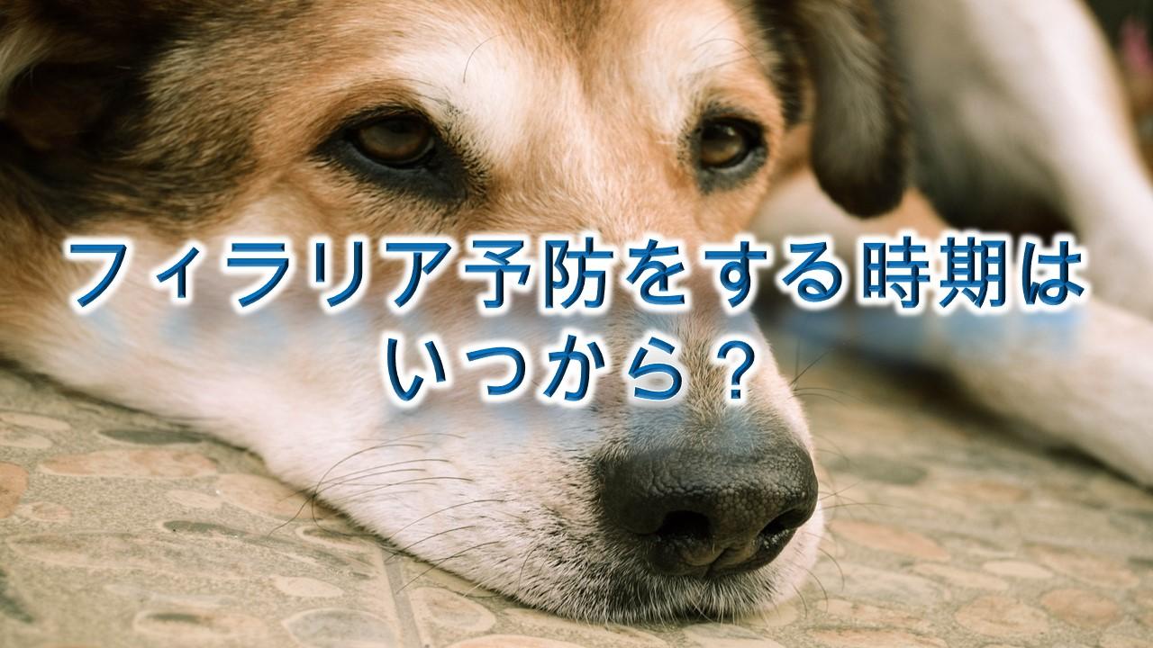 犬にフィラリア予防をする時期はいつから?【フィラリア予防注射や薬を犬に与える時期】
