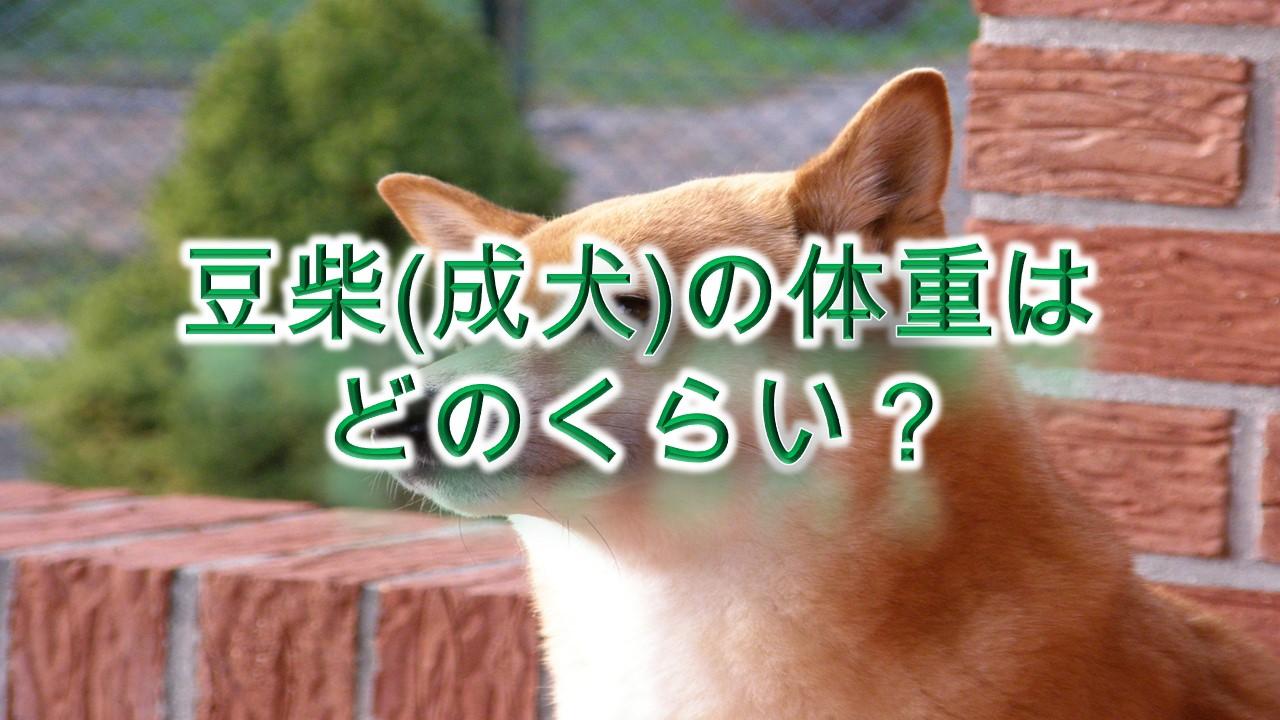 豆柴(成犬)の体重はどのくらい?【柴犬と比較してわかりやすく解説】