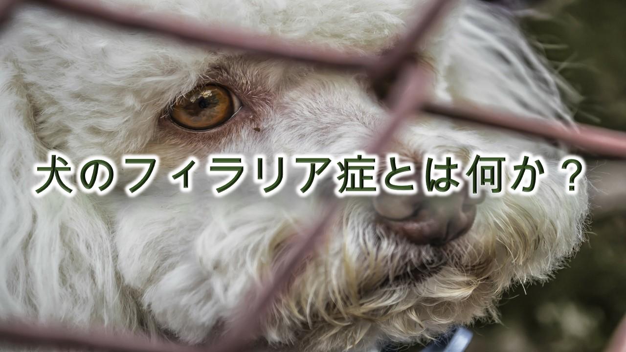 犬のフィラリア症とは何か?意味や症状を徹底解説【初期症状や末期症状など】