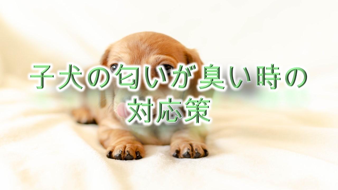 子犬の匂い(体臭や口臭)がくさい時の対応策【臭くなる理由(原因)も解説】